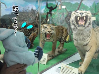 虎さん怒ってる?.jpg