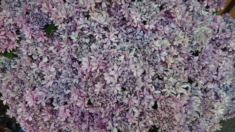 たぶん紫陽花.png
